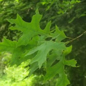 Photographie n°2144355 du taxon Quercus palustris Münchh.