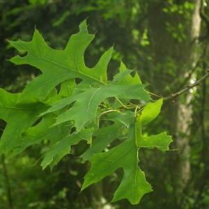 Photographie n°2144356 du taxon Quercus palustris Münchh.