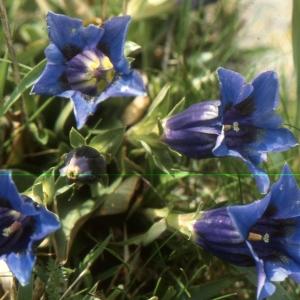 Photographie n°2144449 du taxon Gentiana acaulis L. [1753]