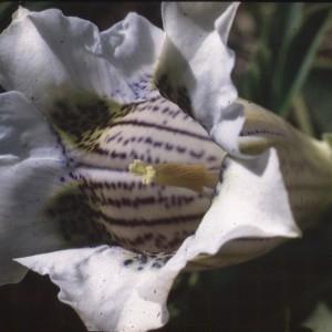 Photographie n°2144450 du taxon Gentiana acaulis L. [1753]