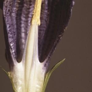 Photographie n°2144451 du taxon Gentiana acaulis L. [1753]