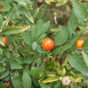 Photographie n°2144465 du taxon Solanum pseudocapsicum L.