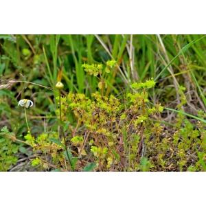 Euphorbia peplus L. var. peplus