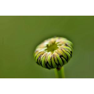 Leucanthemum ircutianum subsp. cantabricum (Sennen) Vogt (Marguerite des Cantabriques)
