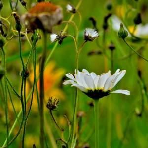 - Leucanthemum ircutianum subsp. cantabricum (Sennen) Vogt [1991]