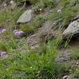 Photographie n°2145136 du taxon Scabiosa cinerea Lapeyr. ex Lam. [1792]