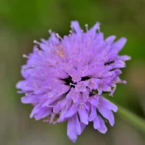 Photographie n°2145139 du taxon Scabiosa cinerea Lapeyr. ex Lam. [1792]