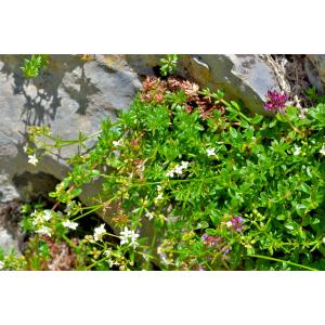 Galium papillosum Lapeyr. [1813] (Gaillet à fruits papilleux)