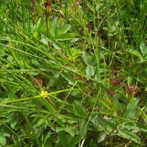 Photographie n°2145357 du taxon Comarum palustre L.