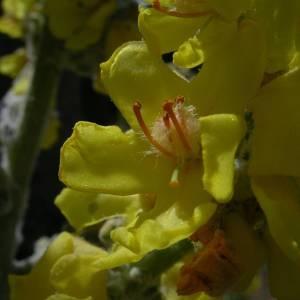 Photographie n°2145661 du taxon Verbascum pulverulentum Vill.