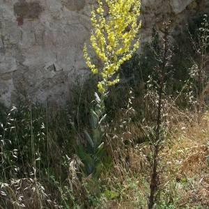 Photographie n°2145662 du taxon Verbascum pulverulentum Vill.