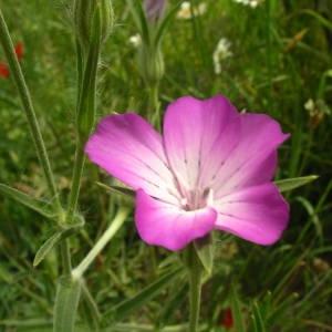 Photographie n°2145680 du taxon Agrostemma githago L. [1753]