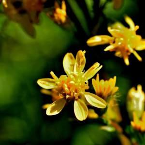 Photographie n°2145795 du taxon Solidago virgaurea subsp. rupicola (Rouy) Lambinon [1962]