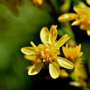 - Solidago virgaurea subsp. rupicola (Rouy) Lambinon [1962]