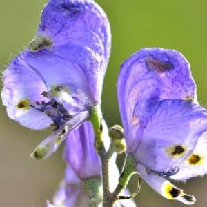 Photographie n°2145809 du taxon Aconitum napellus L. [1753]