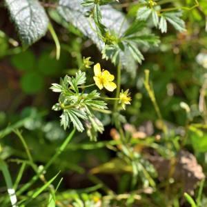 Photographie n°2145945 du taxon Potentilla L.