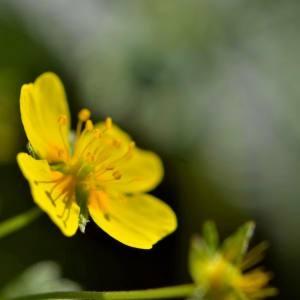 Photographie n°2145947 du taxon Potentilla L.