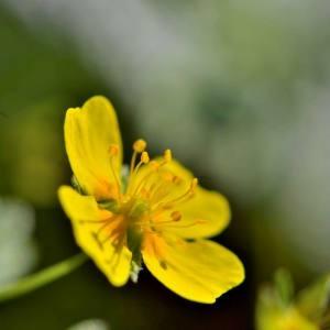 Photographie n°2145948 du taxon Potentilla L.