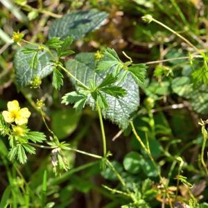 Photographie n°2145951 du taxon Potentilla L.