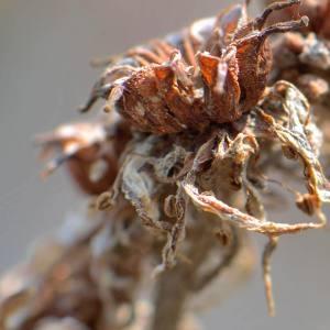 Photographie n°2146036 du taxon Sempervivum L. [1753]