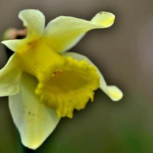 Photographie n°2146045 du taxon Narcissus L. [1753]
