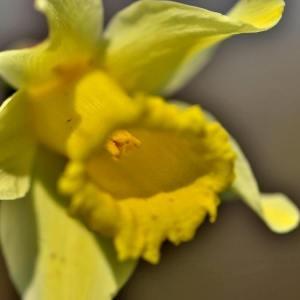 Photographie n°2146046 du taxon Narcissus L. [1753]