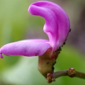 Canavalia rosea (Sw.) DC. (Beach bean)