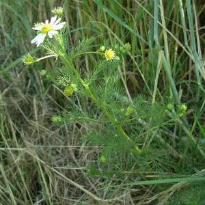 Photographie n°2146195 du taxon Tripleurospermum inodorum (L.) Sch.Bip. [1844]