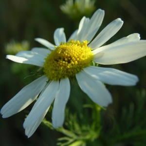 Photographie n°2146197 du taxon Tripleurospermum inodorum (L.) Sch.Bip. [1844]