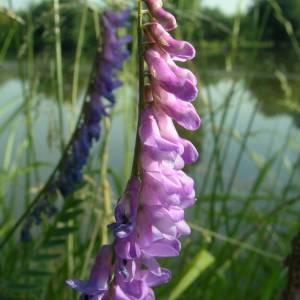 Photographie n°2146422 du taxon Vicia cracca L. [1753]