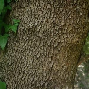 Photographie n°2146831 du taxon Platanus orientalis L.