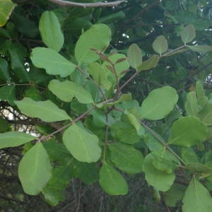 Photographie n°2146873 du taxon Ceratonia siliqua L.