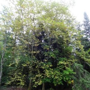 Photographie n°2147101 du taxon Acer pseudoplatanus L.
