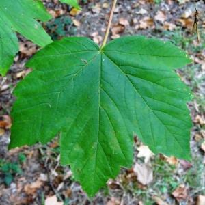Photographie n°2147102 du taxon Acer pseudoplatanus L.