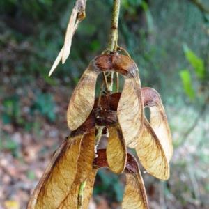 Photographie n°2147103 du taxon Acer pseudoplatanus L.