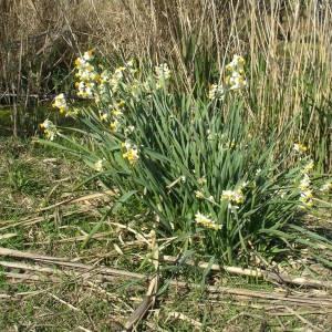 Photographie n°2147186 du taxon Narcissus tazetta L.