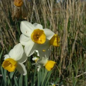 Photographie n°2147188 du taxon Narcissus tazetta L.