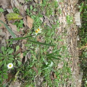 Photographie n°2147408 du taxon Narcissus tazetta L.