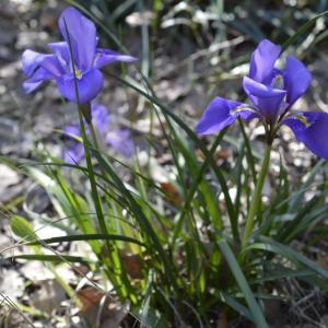 - Iris cretensis Janka [1867]