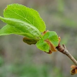 Photographie n°2147567 du taxon Prunus L.