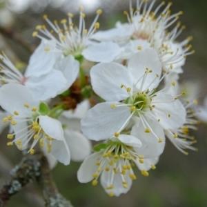 Photographie n°2147568 du taxon Prunus L.