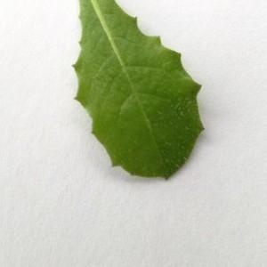 Photographie n°2147614 du taxon Crepis sancta (L.) Bornm. [1913]