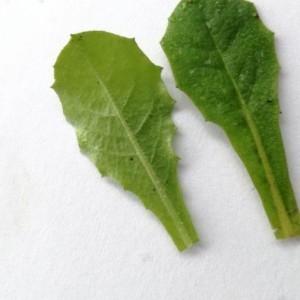 Photographie n°2147615 du taxon Crepis sancta (L.) Bornm. [1913]