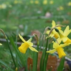 Photographie n°2147666 du taxon Narcissus pseudonarcissus L. [1753]