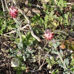 Photographie n°2147829 du taxon Platycapnos spicata (L.) Bernh.