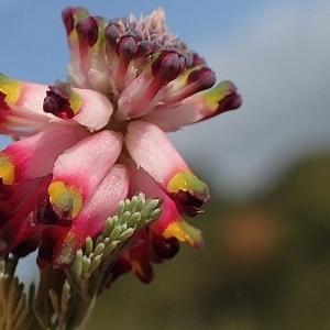 Photographie n°2147830 du taxon Platycapnos spicata (L.) Bernh.