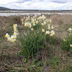 Photographie n°2147868 du taxon Narcissus tazetta L.