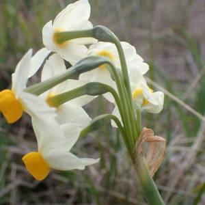 Photographie n°2147870 du taxon Narcissus tazetta L.
