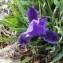 Iris germanica L. [nn35920] par Serge MILLE le 18/03/2018 - Mireval