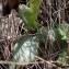 Ophrys lupercalis Devillers & Devillers-Tersch. [nn45324] par Sylvain PIRY le 18/03/2018 - Saint-Bauzille-de-Montmel